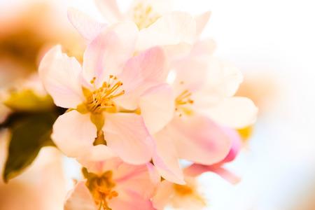 apple blossom Banco de Imagens