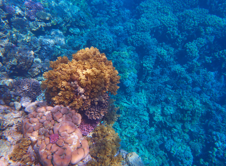 scleractinia: coral reef