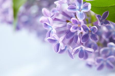 Bonito color lila Foto de archivo - 81711508
