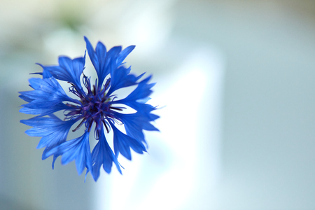 Blue flowers of cornflowers