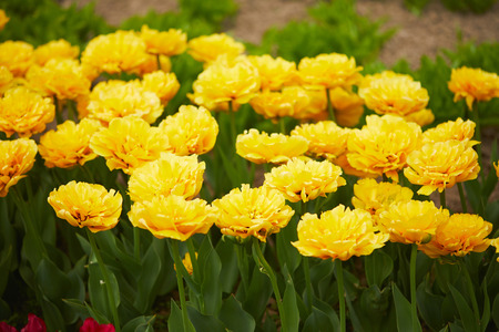 yellow tulips on spring field