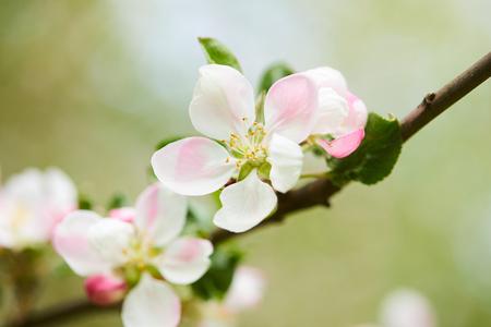 horticultural: apple blossom closeup