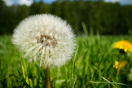 Dandelion blossoming on the field in spring Stock Photo