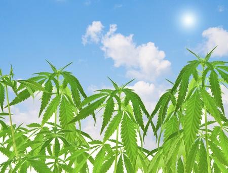 cannabis field under blue sky photo