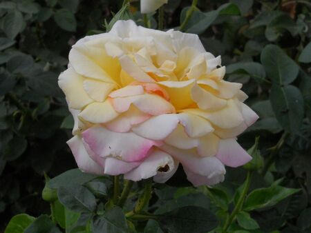 in the greenhouse, a white-yellow single rose blossomed, with green leaves. Standard-Bild