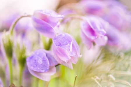 snowdrops: Delicate flowers snowdrops