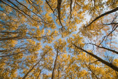 quaking aspen: Sky and autumn aspen in Siberia
