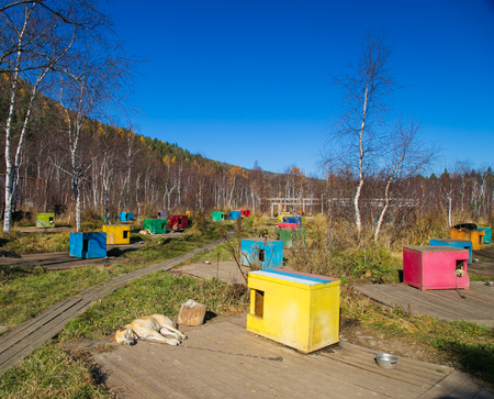 sled dogs: Multicolored booth sled dogs in Siberia