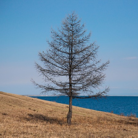 Lone tree standing on the beach in Baikal lake