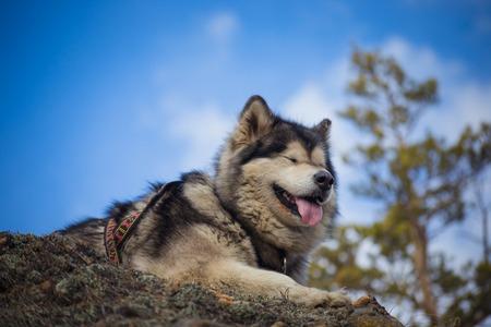 Adult Alaskan Malamute is on the rocks in Siberia 版權商用圖片