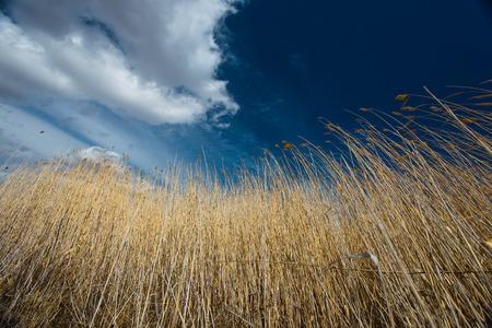 Wheat against the blue sky in Siberia. Buryatia.