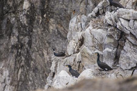 phalacrocoracidae: Big black cormorant on the rocks on the island on Lake Baikal Stock Photo