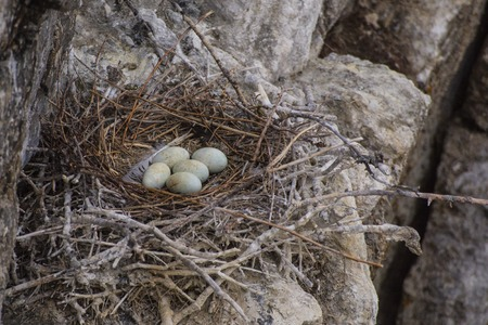 Nest with eggs Cormorant Island on Lake Baikal