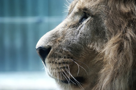 Lion Stock Photo - 10806033