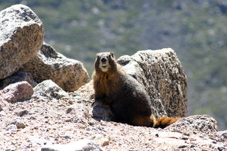 buck teeth: Yellow Bellied Marmot on the side of the road Stock Photo