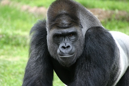 stare: Close up of an intimidating stare of a silverback gorilla  Stock Photo