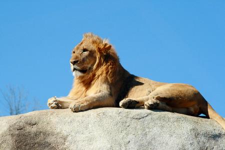Ein junger männlicher Löwe mit einem kleinen Mähne liegend auf einem Felsen, als er über seine Domäne Uhren Standard-Bild - 30668546