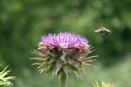 Closeup of a Honeybee flying in land on a purple Thistle flower photo
