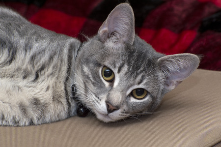 Gray Tabby Cat laying on a tan bench and looking at camera
