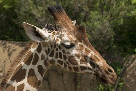 reticulated giraffe: Closeup, side view photo of a reticulated giraffe head on a beautiful sunny day.