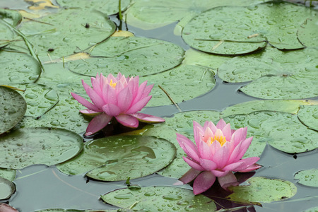 lily pads: A pair of Pink Water Lilies covered with water drops from a Spring rain surrounded by green lily pads in a pond. Stock Photo