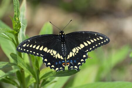 Closeup of a Black Swallowtail Butterfly sitting on a leave with its wings spread showing the beautiful pattern of yellow, blue, and orange spots.