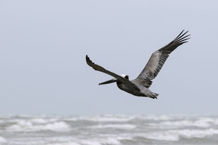 Brown Pelican spreading its wings as it flies gracefully over the whitecaps and surf of the ocean below. Stock Photo