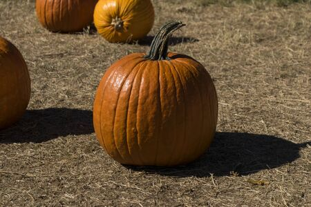 A large, orange pumpkin sitting in a field at a pumpkin patch showing its rich textures as the bright sun creates dark shadows on its rind and the ground beside it in the days leading up to Halloween in the late Autumn.