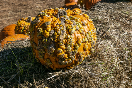 An orange, wart covered Super Freak Pumpkin sitting on a bale of hay in a pumpking patch ready to be carved into a creepy Jack-O-Lantern for Halloween, or baked into a pie for Thanksgiving