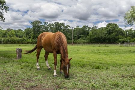 Pojedynczy brązowy koń z białym blaskiem na czole pasący się na zielonej trawie pastwiska rancza z drzewami na horyzoncie pod przeważnie pochmurnym letnim popołudniem.