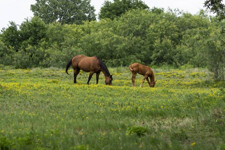 A dark brown mare horse with black mane and tail grazing in a ranch pasture full of yellow flowers with her young foal offspring.