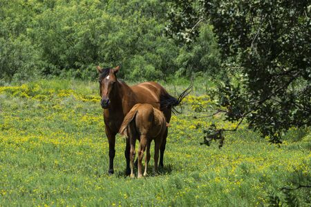 A beautiful brown mare horse nursing her young foal offspring as they stand in the middle of a ranch pasture filled with yellow flowers.