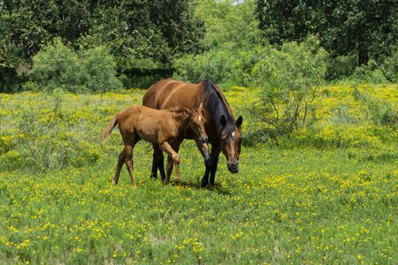 A young brown foal horse walking next to its mother through a ranch meadow filled with yellow flowers and green grass. Imagens