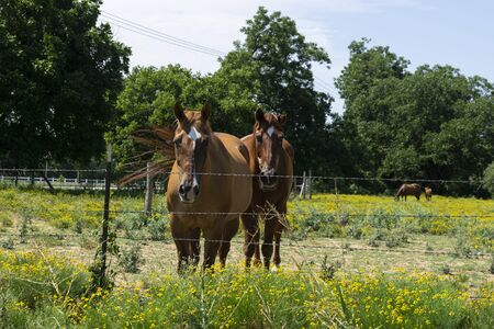 A pair of brown horses standing side by sde behind a barbed wire fence surround their ranch pasture with two other horses in a field of yellow flowers in teh background. Stock fotó