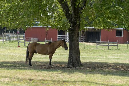 Beautiful light brown horse with a dark mane standing in the shade of a tree in the middle of a farm meadow with a white wood fence and part of a red barn stable visible in the background. 版權商用圖片