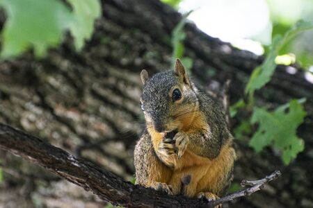 Closeup of a cute Fox Squirrel sitting on a branch in an Oak Tree and eating an acorn or some other type of nut that it's holding in its fuzzy little hand like front paws. 免版税图像
