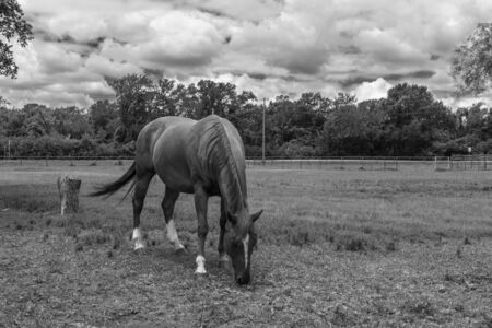 Black and white photo of horse with a white blaze on its forehead grazing on the grass of a ranch pasture with trees in the horizon beneath a mostly cloudy summer afternoon.