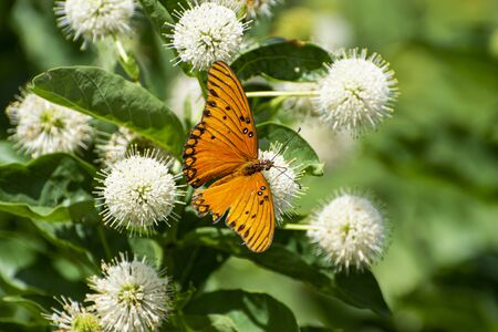 A beautiful orange Gulf Fritillary Butterfly with its wings spread showing off the black and white spots while it feeds on the nectar from a Common Buttonbush flower with its long, tubelike tongue.