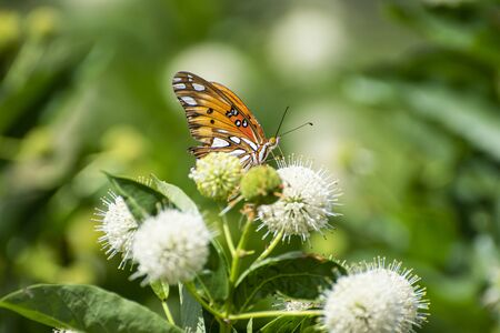 Profile of a beautiful orange Gulf Fritillary Butterfly with its wings closed showing off the black and white spots while it feeds on the nectar from a Common Buttonbush flower with its long, tubelike tongue.