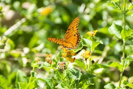 A beautiful Gulf Fritillary Butterfly spreading its delicate orange and black wings while feeding on the nectar from some pretty yellow flowers surrounded by the vibrant green leaves and foliage of a botanical garden. Zdjęcie Seryjne