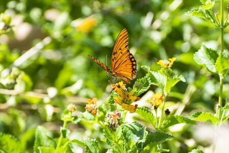 A beautiful Gulf Fritillary Butterfly spreading its delicate orange wings with black stripes and spots while feeding on the nectar from some pretty yellow flowers surrounded by the vibrant green leaves and foliage of a botanical garden.
