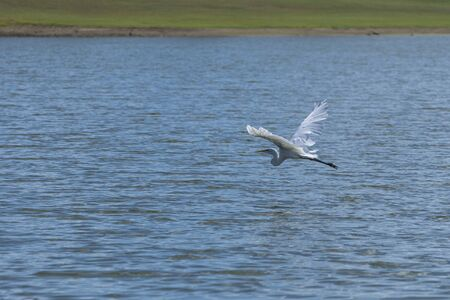 A single Great White Heron flying gracefully over a lake with its elegant wings up high revealing its long, curved neck as it soars low over the rippled surface of the water toward a distant shoreline 版權商用圖片