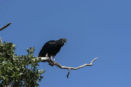 Single Black Vulture standing on a tree branch and looking down for some carrion to feed on creating a creepy image against a stark, cloudless sky.