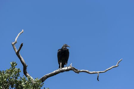 Single Black Vulture standing on a branch high stop a tree and looking around for something dead to scavenge creating an eerie sight against a stark, cloudless sky.