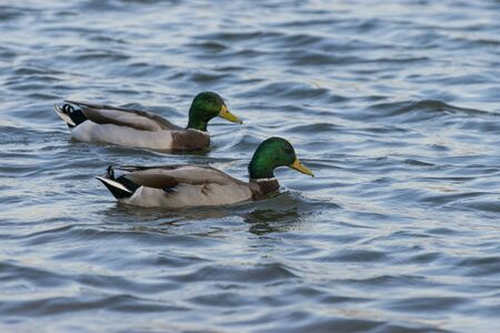 A pair of male Mallard Ducks with beautiful, iridescent green feathers on their heads swimming side by side in the waters of a lake in the soft light of an approaching sunset.
