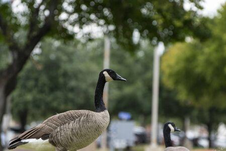 Un ganso de Canadá de pie entre algunos árboles en Fort Worth, Texas y mirando a su alrededor mientras otro miembro de su bandada mira a su alrededor en el fondo.