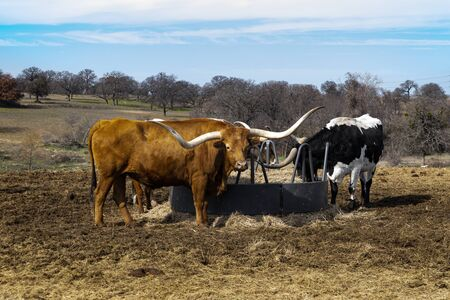 Several Longhorn cattle gathered around a metal feed trough in the middle of a pasture as they feed on the hay during the bleak winter season.