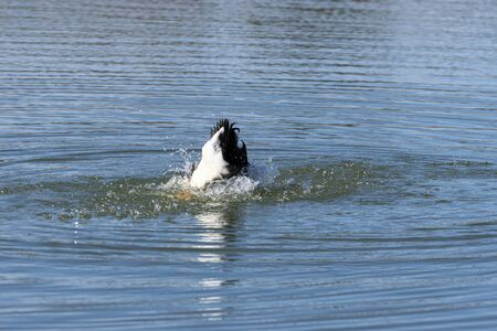 A Bibbed Mallard Duck swimming and splashing in a lake with its head submerged under the water and its black and white tail feathers sticking up in the air.