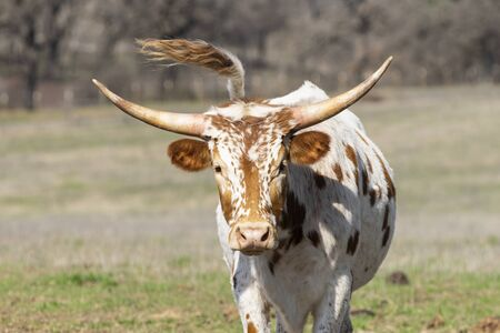Young white Longhorn calf with brown spots and short, curved horns staring into the camera with his tail swishing in the air behind him.