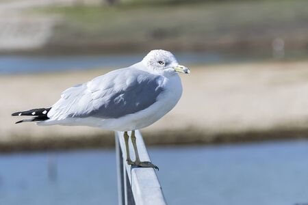 A solitary Ring Billed Gull standing on the metal rail of a marina pier with part of the lake and its shoreline in the background.